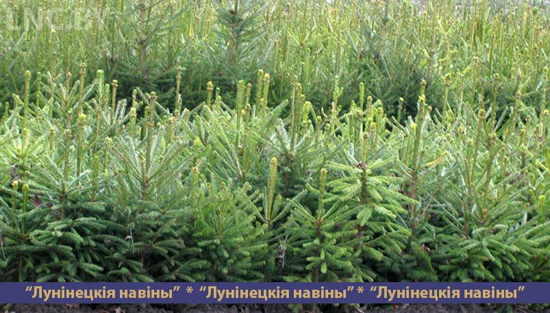 Photo of Где, когда и по какой цене можно приобрести новогоднюю елку?