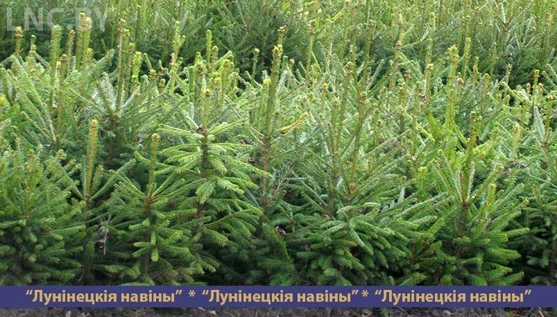Photo of Установлена стоимость новогодних елок