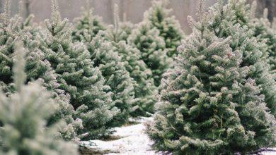 Photo of 15 елок безвозмездно передал в школы Лунинецкий лесхоз