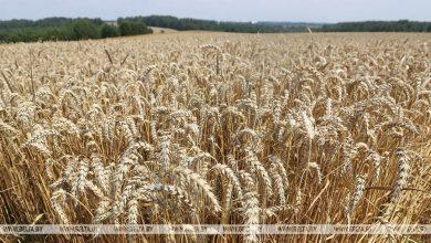 Photo of Белорусские аграрии намолотили 2 миллиона тонн зерна