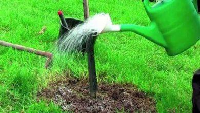Photo of Поливайте деревья и кустарники