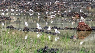 Photo of Фотофакт. Чайки на водоотливе гранитного карьера «Микашевичи»