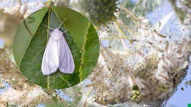 Photo of Американская белая бабочка – опасный карантинный вредитель